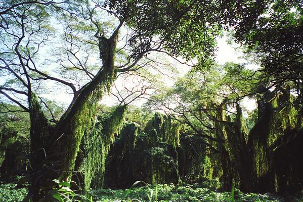 Rain Forest in Havana, Cuba.