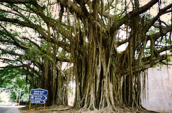 Sacred Ceiba trees in Havana, Cuba.