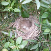 The nest with eggs..