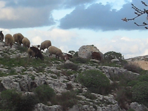 VIDEO: Shhh I'm recording!! - Scott and his sheep hehe (Video: Cub Scott Degiorgio)