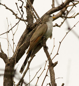 Yellow-billed Cuckoo Patagonia Arizona 201108 21.CR2