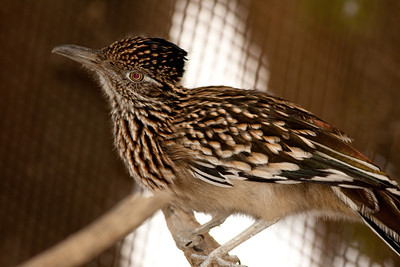 Greater Roadrunner Palm Desert Ca 2010  15 10