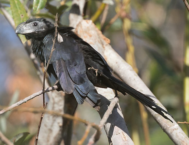 Groove-billed Ani Encinitas 2017 11 20-1.CR2