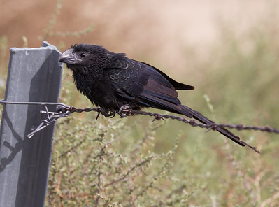 Groove-billed Ani Coso Junction 2015 10 27-1.CR2