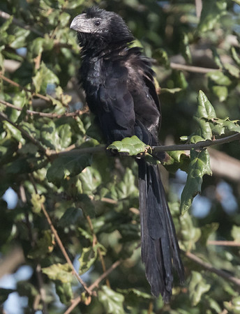 Groove-billed Ani Encinitas 2017 11 29 17-1.CR2