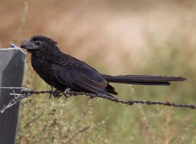 Groove-billed Ani Coso Junction 2015 10 27-2.CR2