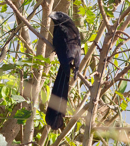 Groove-billed Ani   Nayarit 2013 03 10 (1 of 1).CR2