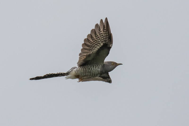 Common Cuckoo - Gøg