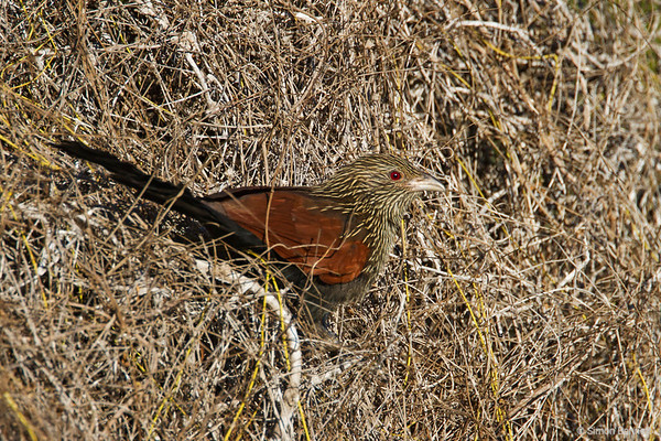 Malagassy Coucal