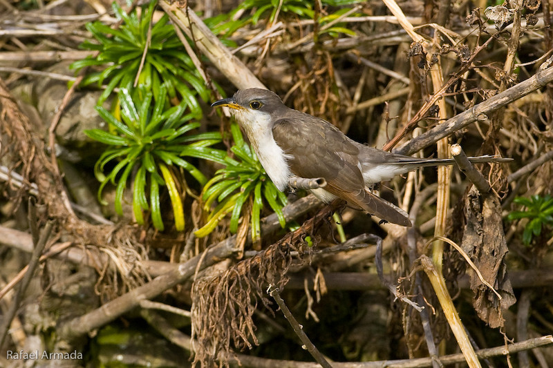 Yellow-Billed Cuckoo (Coccyzus americanus)