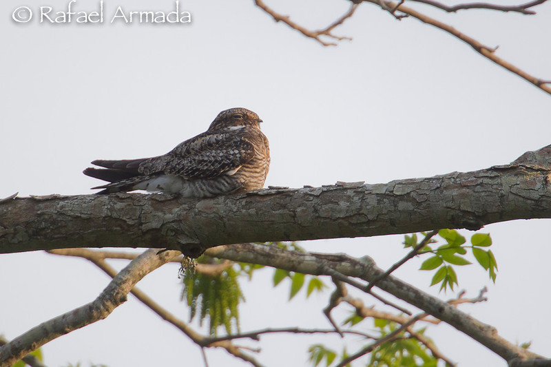 Nighthawk (Chordeiles minor). High Island (Texas, USA), April 2012.<br /> Esp: Chotacabras yanqui<br /> Cat: Enganyapastors americà