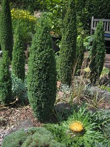Carlina acanthifolia and Juniperus communis 'Compressa'
