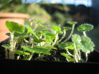 Saxifraga bulbifera