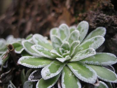 Saxifraga paniculata ex. Gorges du Verdon (collected by Gert Hoek)