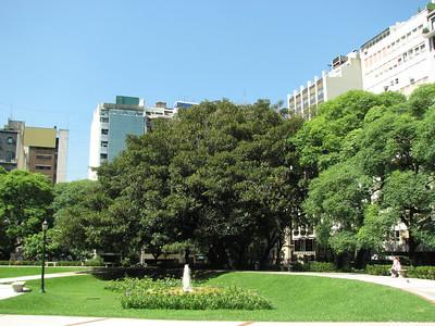Ficus elastica?, Buenos Aires