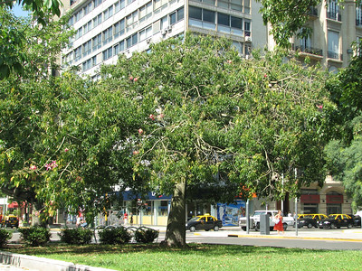 Jacaranda mimosifolia?, Buenos Aires