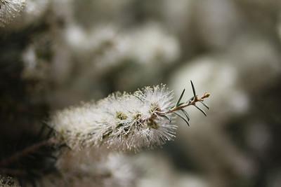 Callistemon salignus? (Buenos Aires Botanical Garden)