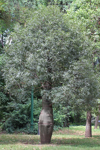 Brachychiton rupestris from Australia (Buenos Aires Botanical Garden)