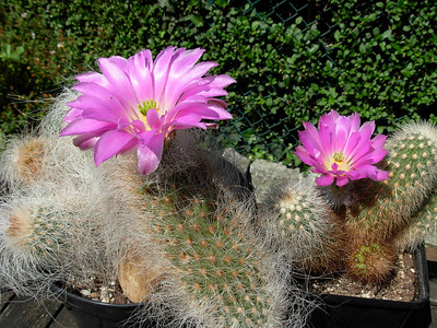 Echinocereus longisetus var. delaetii and E. longisetus var. freudenbergii