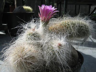 Echinocereus longisetus var. delaetii