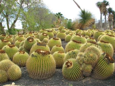 Echinocactus grusonii (Parque Exoticos, the Cactus and Animal Park, Los Cristianos)