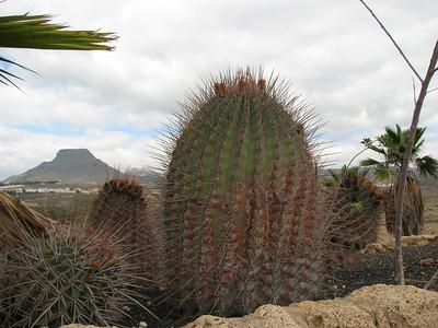 Ferocactus rectispinus (Parque Exoticos, the Cactus and Animal Park, Los Cristianos)