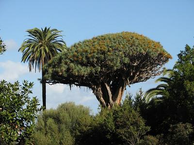 Dracaena draco - ancient specimen (Parque del Drago, Icod de los Vinos)