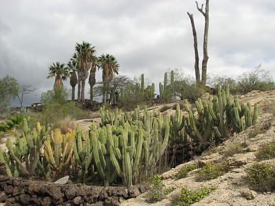 Some type of cactus (Parque Exoticos, the Cactus and Animal Park, Los Cristianos)