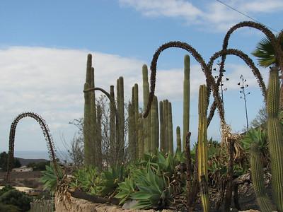 Agave attenuata (Parque Exoticos, the Cactus and Animal Park, Los Cristianos)