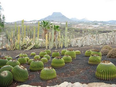 Echinocactus grusonii var. inermis (Parque Exoticos, the Cactus and Animal Park, Los Cristianos)