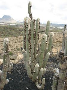 Cleistocactus straussii? (Parque Exoticos, the Cactus and Animal Park, Los Cristianos)