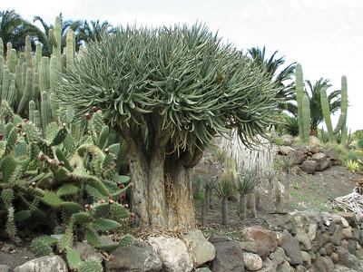Aloe dichotoma (Cactualdea)