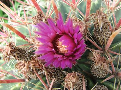 Ferocactus latispinus var. flavispinus (Cactualdea)
