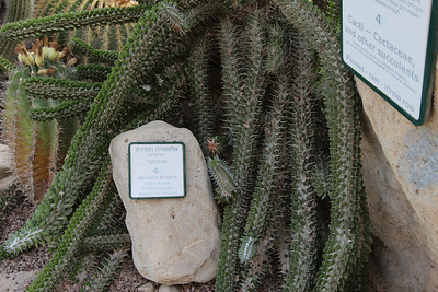 Alluaudia procera - in the Botanical Garden at kibbutz Ein Gedi