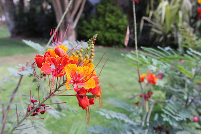 Caesalpinia pulcherrima - in the Botanical Garden at kibbutz Ein Gedi
