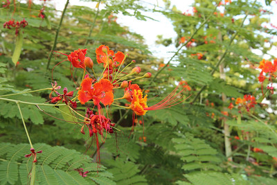 Caesalpinia pulcherrima? - in the Botanical Garden at kibbutz Ein Gedi