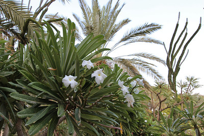 Pachypodium rutenbergianum? in the Botanical Garden of kibbutz Ein Gedi