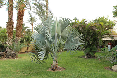 Bismarckia nobilis in the Botanical Garden at kibbutz Ein Gedi