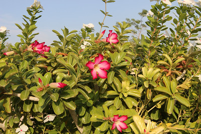 Catharanthus roseus and Adenium obesum - in the Botanical Garden at kibbutz Ein Gedi