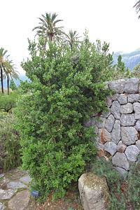 Buxus balearica (Jardí Botanic de Sóller - The Sóller Botanic Garden)