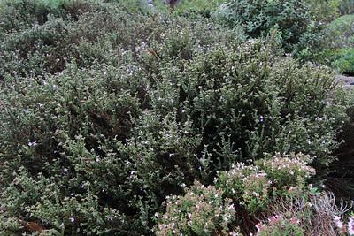 Thymus inodorus (Jardí Botanic de Sóller - The Sóller Botanic Garden)