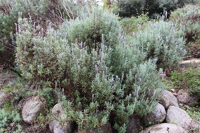 Lavandula dentata (Jardí Botanic de Sóller - The Sóller Botanic Garden)