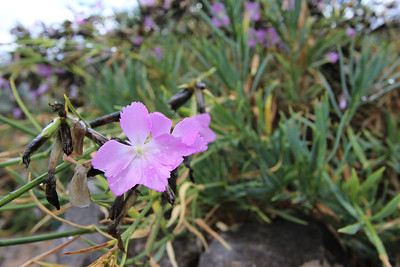 Dianthus rupicola subsp. bocchoriana (Jardí Botanic de Sóller - The Sóller Botanic Garden)