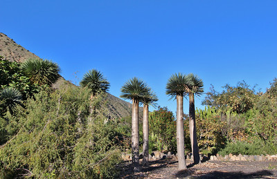 Dracaena draco (El Jardín Botánico del Descubrimiento de Vallehermoso, just north of Vallehermoso)