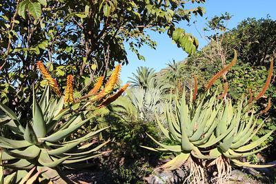 Aloe spectabilis (Jardín Botánico del Descubrimiento de Vallehermoso)