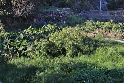 Cyperus alternifolius (Jardín Botánico del Descubrimiento de Vallehermoso)