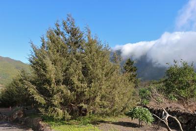 Juniperus cedrus (El centro de visitantes de La Caldera de Taburiente, El Paso)