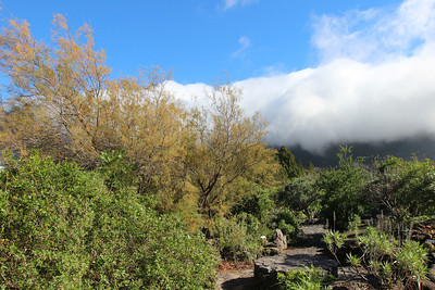 Tamarix canariensis (El centro de visitantes de La Caldera de Taburiente, El Paso)