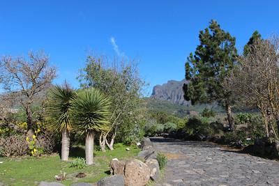Dracaena draco (El centro de visitantes de La Caldera de Taburiente, El Paso)