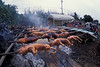 pigs are roasted over a keawi pit in preparation for a church fundraiser, Hawaii, CUHCO 0003